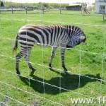 gruto-parko-zebras
